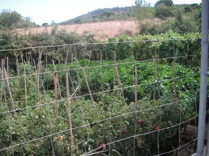las tomateras